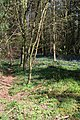 Bluebells in the wood - geograph.org.uk - 412378.jpg