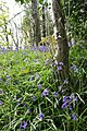 Bluebells up coach road - geograph.org.uk - 1279573.jpg