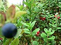 Blueberries and lingonberries.jpg