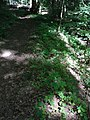 Blume Vorkommen Schwarze Teufelskralle R0014563.jpg