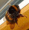 Bombus terrestris. Female - Flickr - gailhampshire.jpg