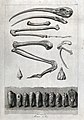 Bones and mummified remains of an ibis. Etching by R. Pollar Wellcome V0022388.jpg