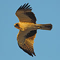 Booted Eagle.jpg