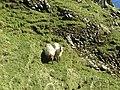 Boreray sheep - on Boreray - geograph.org.uk - 1439988.jpg