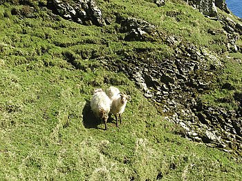 Boreray sheep - on Boreray - geograph.org.uk -...
