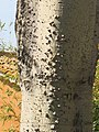 Bormes-les-Mimosas - Ceiba speciosa (trunk).jpg