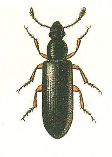 Boridae family of insects