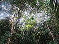 Bosque de Attalea rostrata Oerst. en Península de Burica.jpg