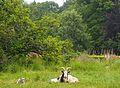 Bouc, chèvre et cabri aux environs de Domfront dans l'Orne (France).jpg