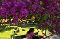 Bougainvillea spectabilis - Primavera (15334004332).jpg