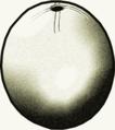 Bouteille en œuf d'autruche (Capsien).png