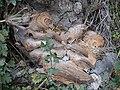 Bracket fungus (Trametes versicolor) - geograph.org.uk - 241505.jpg