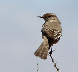 Bradornis infuscatus -Northern Cape, South Africa-6.jpg