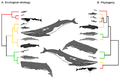 Branching diagrams showing the ecological and evolutionary relationships among cetaceans.png