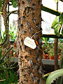 Brasiliopuntia brasiliensis (trunk) 01.JPG