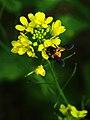 Brassica juncea Flower.jpg