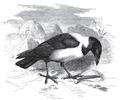 Brehms Tierleben 2.2 page 437 Corvus scapulatus.png