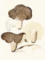 Bresadola - Lactarius umbrinus.png