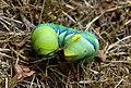 Bright Acherontia atropos caterpillar.jpg