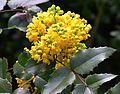 Brilon, Kurpark, Mahonia aquifolium 2.JPG