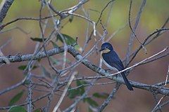 Broad billed flycatcher1.jpg