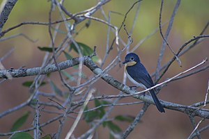 Monarch flycatcher - Broad-billed flycatcher