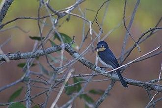 Monarch flycatcher - Broad-billed flycatcher