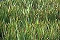 Broad reed, Botanic Gardens, Dublin - panoramio.jpg