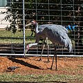 Brolga at Boulia Wildlife Haven Herbert St Boulia Queensland P1030321.jpg