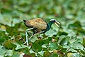 Bronze-winged Jacana Metopidius indicus male carrying hatchlings tucked under wings image by Vedant Kasambe 02.jpg