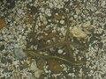 Brook Lampreys nesting - Lampetra planeri 5.jpg