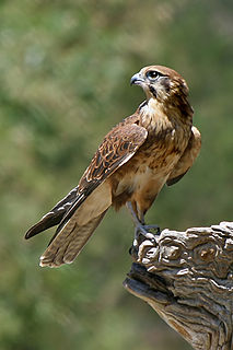 Falcon genus of birds