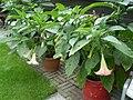 Brugmansia suaveolens 15.jpg