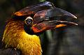 Buceros hydrocorax -zoo -immature-8a.jpg