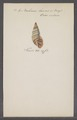 Bulimus laevus - - Print - Iconographia Zoologica - Special Collections University of Amsterdam - UBAINV0274 088 11 0014.tif