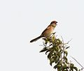 Bull-headed Shrike (Lanius bucephalus).jpg