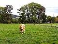 Bull at Howden Farm - geograph.org.uk - 1533311.jpg