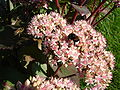 Bumblebee and honeybee pollinating sedum telephium.jpg