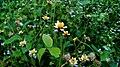 Bunga liar indah.jpg