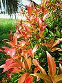 Bunga pucuk merah (54).JPG