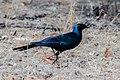 Burchell's Starling-5736 - Flickr - Ragnhild & Neil Crawford.jpg