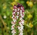 Burnt-tip Orchid Neotinea ustulata (31037995588).jpg