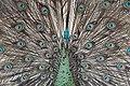 Burung Merak ( Peacock Bird ).jpg