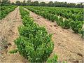 Bush vines 04.jpg