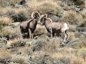 Desert bighorn sheep - Rams battling with their horns
