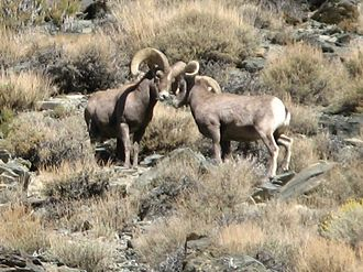 Cecil D. Andrus Wildlife Management Area - Bighorn sheep