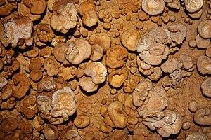 Cave popcorn - Button cave popcorn