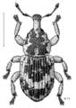 COLE Curculionidae Athor arcifera.png