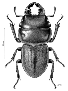 Geodorcus auriculatus - Wikipedia