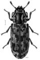 COLE Trogossitidae Phanodesta.png